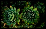 succulent-photographer-1